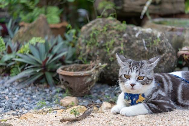 Lovely kitty with beautiful yellow eyes wearing collar for safety to play in outdoor garden