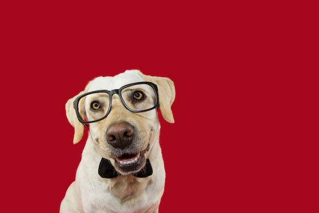 Lovely labrador dog wearing glasses and black neck tie