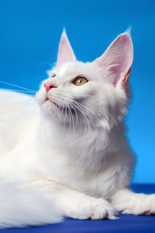 素敵なメインクーン猫の大きな飼いならされた長髪の猫の肖像画