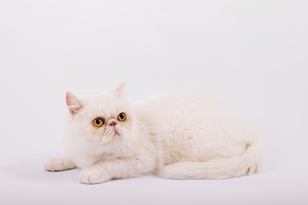 Lovely pets composition with sleepy white cat