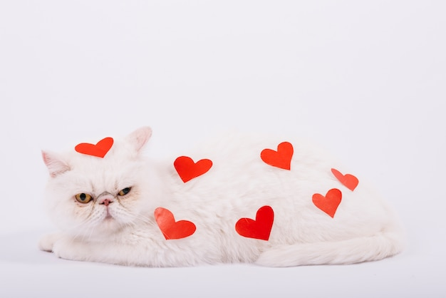 Lovely pets composition with white cat