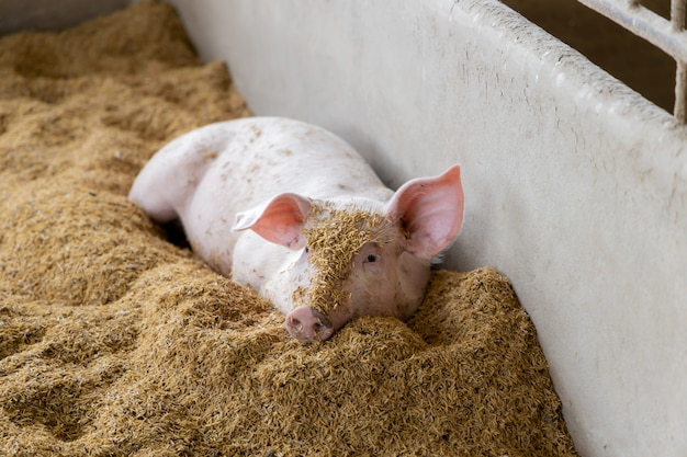 Симпатичная свинья в органической сельской ферме аграрной. животноводство