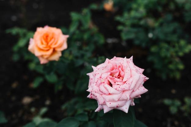 Прекрасная розовая роза в саду