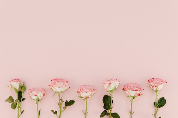 Lovely pink roses with copy space