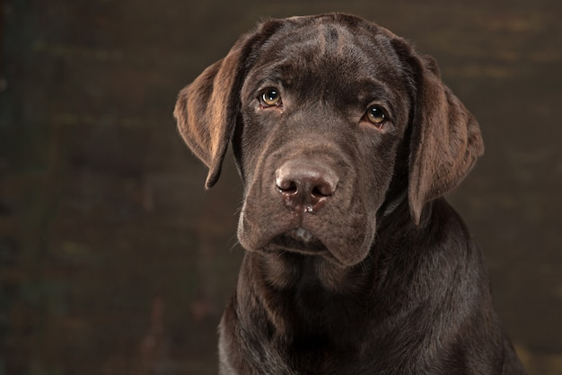 Lovely portrait of a chocolate labrador retriever puppy