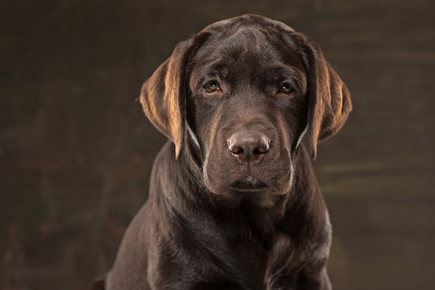Lovely portrait of a chocolate labrador retriever puppy