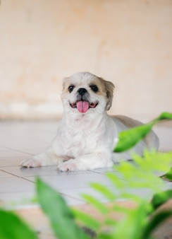 Lovely puppy or little white and brown shih tzu dog sitting and stick out tongue look so sweet.