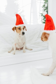 Lovely puppy wears santa claus hat, going to celebrate  or christmas, looks in mirror. winter holidays, pets and celebration