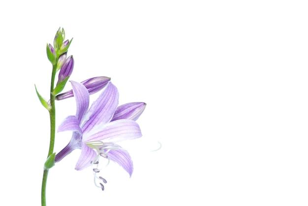 Прекрасные фиолетовые цветы, изолированные на белом фоне