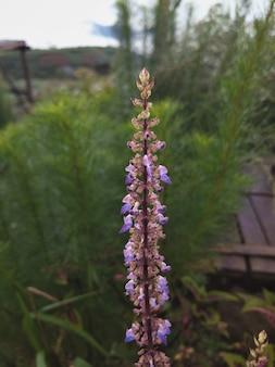キャットニップの素敵な紫色の花