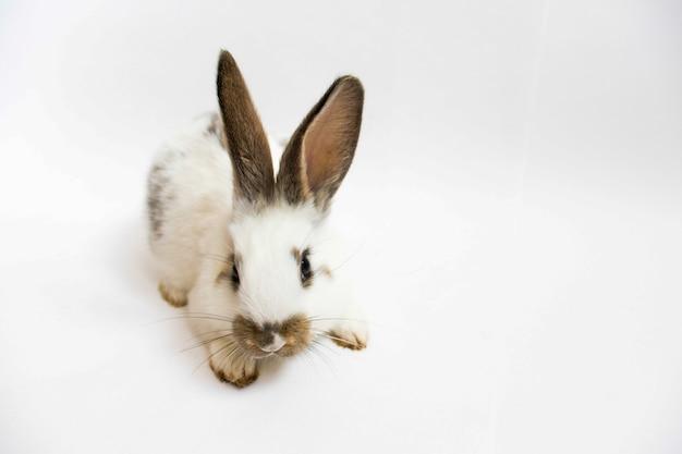 사랑스러운 토끼 앉아 흰색 배경에 고립입니다.