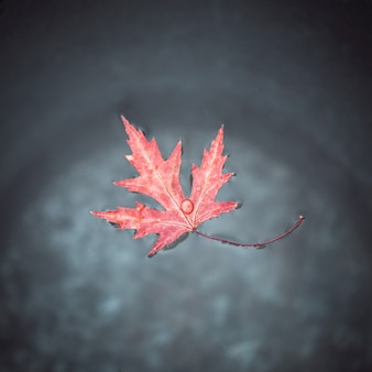 A lovely red maple leaf floats on the surface of the water in a tin bucket.