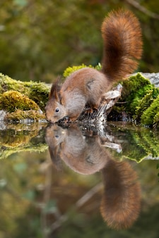 Lovely red squirrel with fluffy tail drinking water from pond in spring forest.