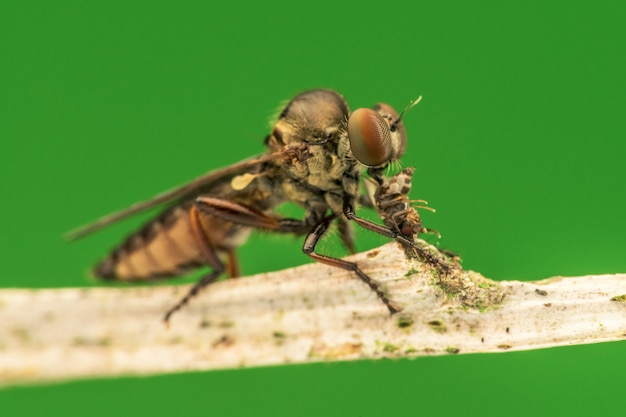 Lovely robber flies (asilidae) eating insect nature macro