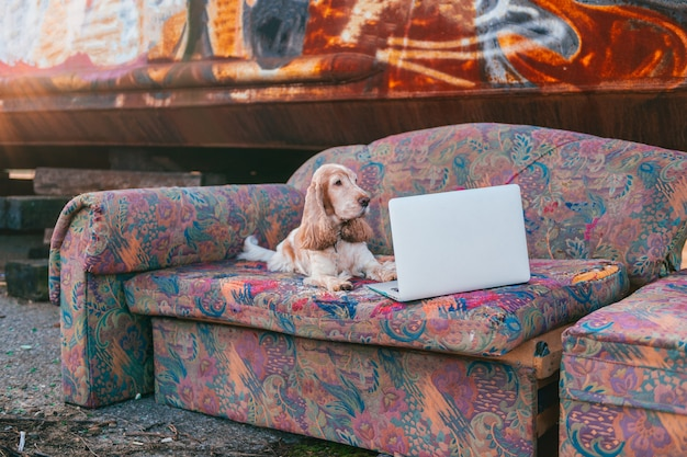Lovely senior cocker spaniel dog lying on old couch in front of laptop with rusty metal graffiti wall.