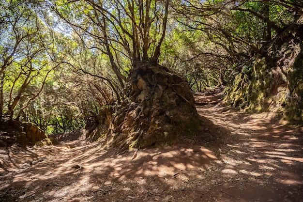 スペインのテネリフェ島の北にあるアナガの森の素敵なウォーキングトレイル