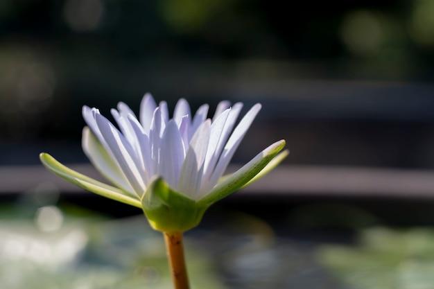 Прекрасная водяная лилия на размытой природе