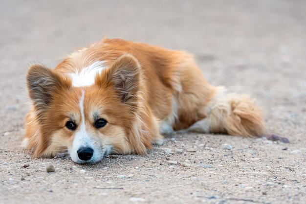 屋外に横たわっている素敵なウェルシュコーギーペンブローク犬