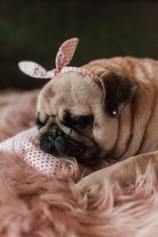 Lovely white fat cute pug dog with banter on the head close up lying on a soft pink dog bed pillow in studio