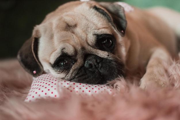 머리에 농담을하는 사랑스러운 흰색 지방 귀여운 퍼그 개가 스튜디오에서 부드러운 분홍색 개 침대 베개에 누워 닫습니다