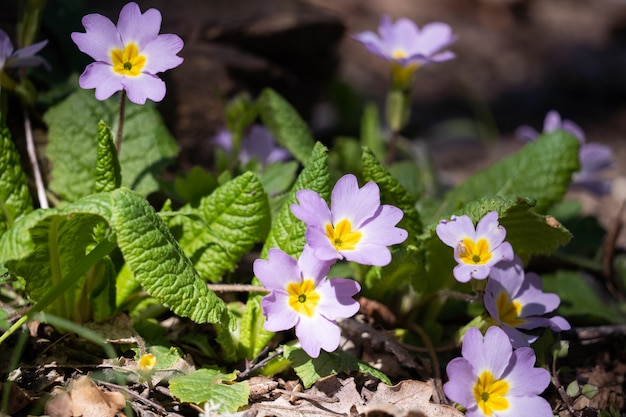 Lovely white flowers in greenery. forest plants. blooming strawberries. fragrant flowers.