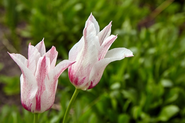 Lovely white-pink tulips with water drops after rain. spring flowers