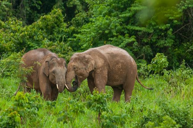 Прекрасные дикие слоны в лесу