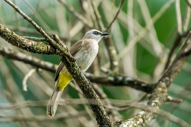 Lovely yellow-vented bulbul perched and resting