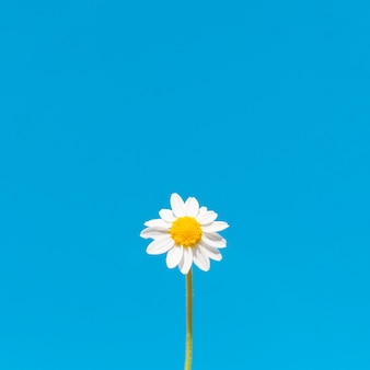 Low angle of chamomile flower with copy space