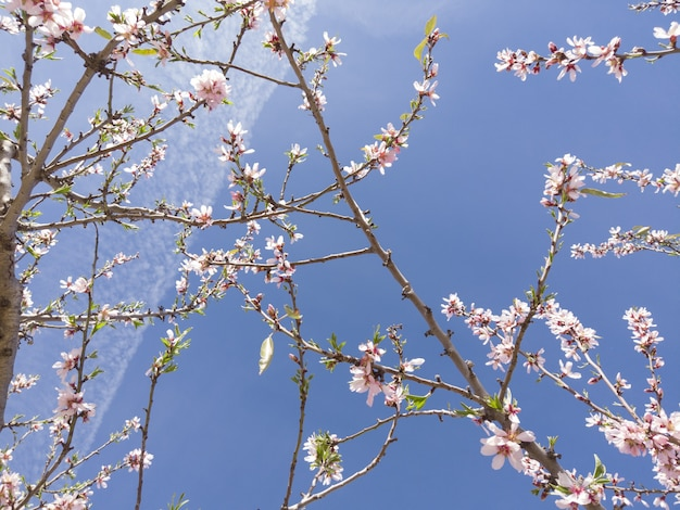 Low angle closeup of cherry blossom under the sunlight and a blue sky