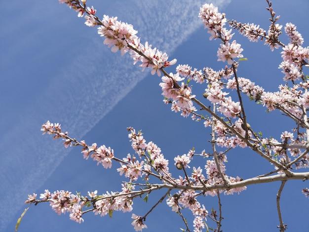 Primo piano di angolo basso del fiore di ciliegia sotto la luce solare e un cielo blu