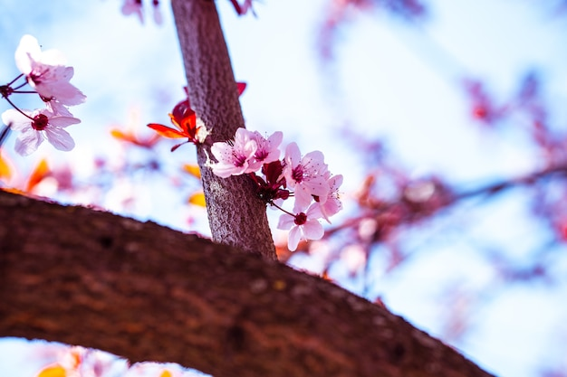 背景がぼやけた日光の下での美しい桜の花の低角度のクローズアップ