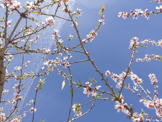 햇빛과 푸른 하늘 아래 벚꽃의 낮은 각도 근접 촬영