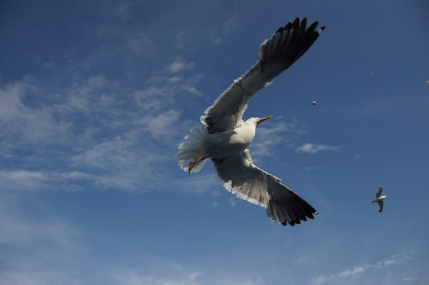 하늘에서 높이 날고 큰 날개를 가진 아름다운 야생 물수리의 낮은 각도 근접 촬영 샷