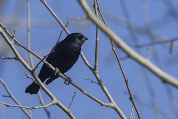 Low angle selective focus shot of a black cowbird perched on a slim branch