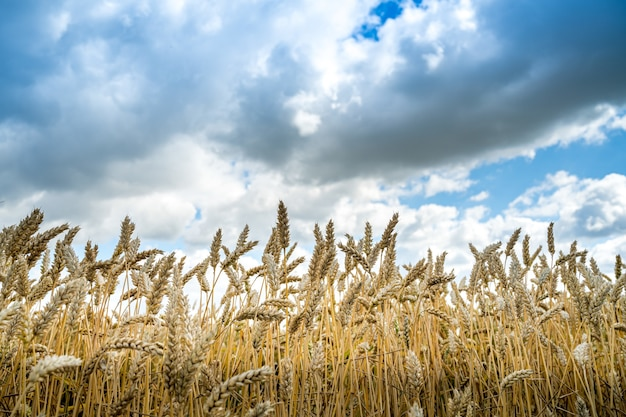 Low angle shot of barley grains in the field under the cloudy sky