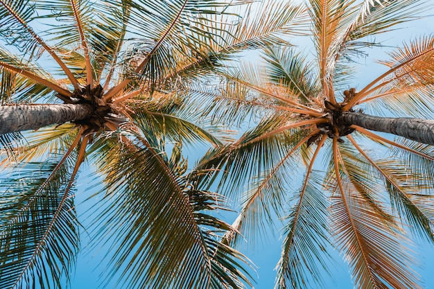 Low angle shot of beautiful coconut palm tree on blue sky