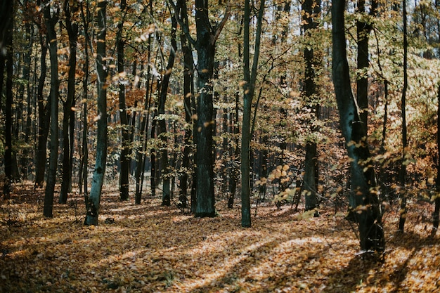Low angle shot of a beautiful forest scene in autumn with tall trees and the leaves on the ground