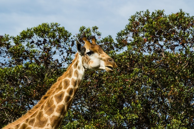 Inquadratura dal basso di una bella giraffa in piedi di fronte a splendidi alberi