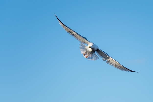 Low angle shot of a beautiful gull flying on the blue background