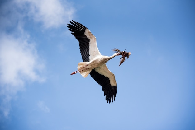 Low angle shot of a beautiful stork flying in the blue sky carrying tree branches