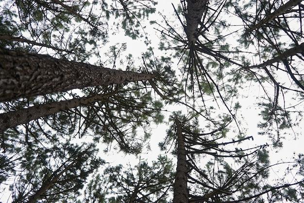 Inquadratura dal basso di una fitta foresta con molti alberi ad alto fusto