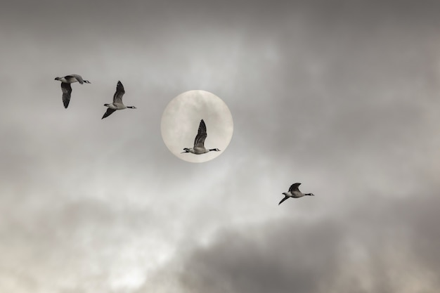 Low angle shot of ducks flying under a cloudy sky and a full moon - perfect for wallpapers