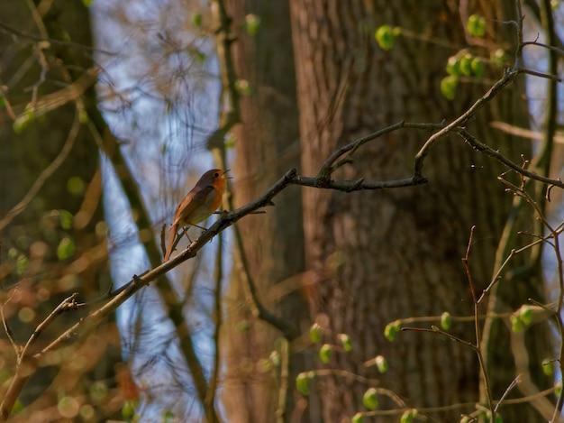 Inquadratura dal basso di un pettirosso europeo appollaiato su un ramo di un albero in una foresta