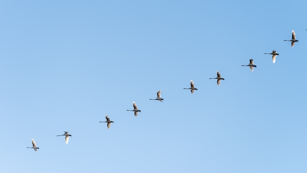 Low angle shot of a flock of birds flying under a clear blue sky
