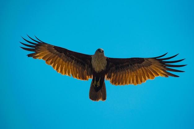 Inquadratura dal basso di un falco dorato che vola su un cielo blu