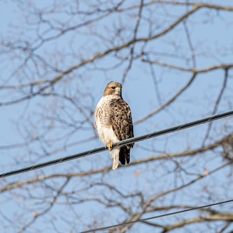 Low angle shot of a hawk resting on the cable wire in the street with a blurred background