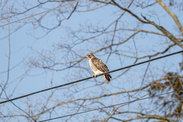 Low angle shot of a hawk resting on the cable wire