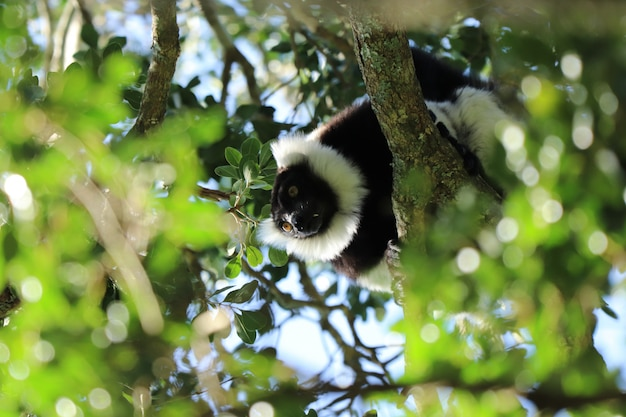 Low angle shot of an indri ( a kind of primate) among the branches of a tree