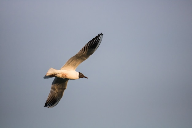Low-angle shot of a laughing gull flies in the sky